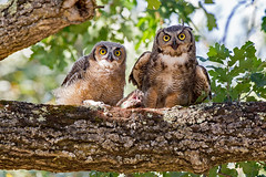 Great Horned Owls (wlb393) Tags: greathornedowl fledgling birds livermore