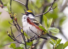 Chestnut-sided Warbler (Boganeer) Tags: warbler chestnutsidedwarbler setophaga setophagapensylvanica bird songbird song call aves animal nature canon canoneos canont3i canonrebelt3i