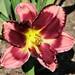 bloombuddie's Daylily Bart Roberts