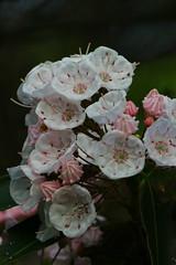 mountain laurel, Kalmia latifolia, Worthington State Forest, Warren county, NJ (jimbop22001) Tags: