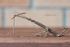 close up brown stick insect on table (hueymilunz) Tags: nz newzealandtransition newzealand wellington nature insect fauna florafauna 365project colour closeup macro