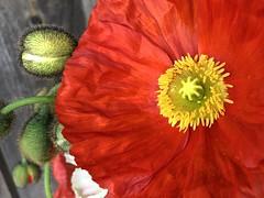 poppy love - Explored 06.12.19 (saudades1000) Tags: macro flower summer vermelho poppylove poppy red takenoniphone iphone
