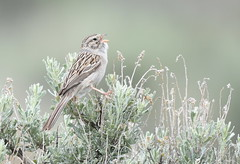 Brewer's Sparrow (Christopher Lindsey) Tags: harneycounty oregon birds bird birding brewerssparrow