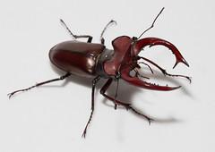 Big stag beetle (cotinis) Tags: insect beetle coleoptera lucanidae lucanus lucanuselaphus stagbeetle giantstagbeetle northcarolina piedmont canonefs60mmf28macrousm inaturalist