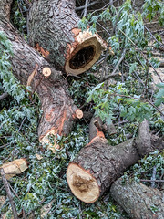Sycamore (jolynne_martinez) Tags: tree trees removal nature google pixel yard logs wood sycamore hollow