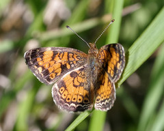 Pearl Crescent (Bruce Bolin) Tags: