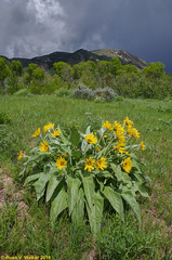 Thunder and Flowers (walkerross42) Tags: wildflowers flowers mountain storm thunderstorm clouds bennington idaho spring wideangle leaf leaves yellow