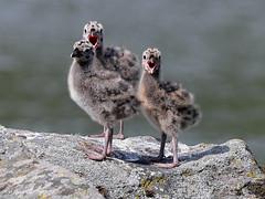 Hello, we are common gulls ! (Hannu Tervonen) Tags: 2019 linnut birds kalalokki poikanen commongull juvenile
