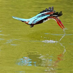 White Throated Kingfisher (Ric Seet.) Tags: sony a9 100400gm white throated kingfisher flight