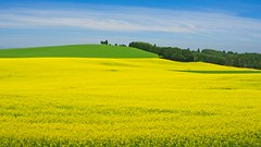 Canola Field 5786 A (jim.choate59) Tags: jchoate on1pics field canola springtime yellow flowers blooming marioncounty oregon landscape rural roadside silvertonoregon d610 scenic