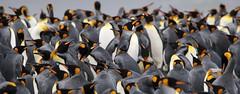 King Penguin heads looking all ways (Paul Cottis) Tags: goldharbour southgeorgia southatlantic beach king penguin pinguino rey paulcottis 28 january 2019 jan