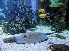 Raie (Raymonde Contensous) Tags: raie poissons animaux nature aquariumtropicalportedorée aquarium eau paris