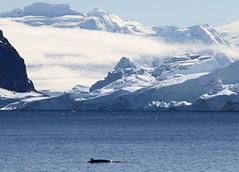 Antarctic Minke Whale swimming just of the Antarctic coast (Paul Cottis) Tags: antarctic minke whale cetacean marine mammal swim swimming ice mountain view bay scenery paulcottis antarctica antarcticpeninsula gerlachestrait 3 february 2019 feb glacier cloud blue sky