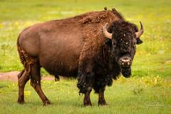 _D850835 (jrash168) Tags: southdakota badlandsnationalpark buffalos