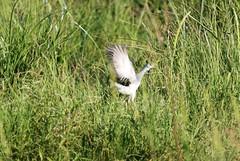 Azure Gallinule (porphyria flavirostris) jumping up from hiding place in the grass (Paul Cottis) Tags: gallinule bird rincondelsocorro iberawetlands esterosdelibera wetlands moorhen water paulcottis 8 february 2019 feb pollen celeste