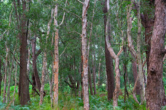 Tilligerry Habitat (fate atc) Tags: australia eucalyptusrobusta lemontreepassage melaleucaquinquenervia nsw newsouthwales paperbarktree portstephens swampmahogany tanilbabay tilligerryhabitat bush nearwater swampy trees