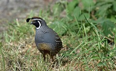 Don't I look handsome? (Snixy_85) Tags: quail califorinaquail callipeplacalifornica