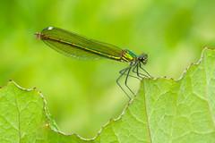 Calopterix Splendens (de_frakke) Tags: demoiselle juffer green female weidebeekjuffer