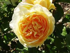 Yellow rose [Explored June 12, 2019] (Hélène_D) Tags: hélèned france provencealpescôtedazur provence paca alpesdehauteprovence ahp manosque lathomassine domainedelathomassine maisondelabiodiversité parcnaturelrégionalduluberon pnrluberon pnrl luberon parc park plante plant fleur flower rose insect insecte inexplore perspective2019