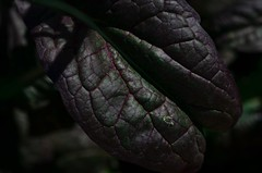 Vegetative State (MPnormaleye) Tags: leaf veggies vegetables veins texture edible food crops produce macro lensbaby seeinanewway kale