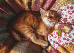 Keks III (patrick_illhardt) Tags: kitten sleeping cat red animalphotography animal pet petphotography kätzchen katze feline tierfotografie cute beauty beautiful