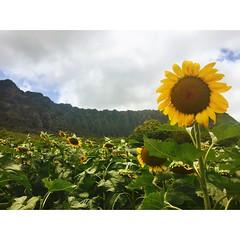 Waimanalo Sunflowers (Tianna Chantal) Tags: sunflowers flowers sunflowerfield hawaii koolau nature landscape outdoors waimanalo yellow green tropical