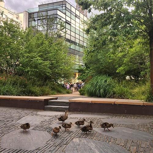 Maman canard et ses ados dans le jardin du @quaibranly #paris #duck