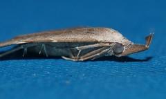 Wooly Flag tip snout moth Hypena sp Hypeninae Erebidae Mandalay rainforest Airlie Beach P1070142 (Steve & Alison1) Tags: wooly flag tip snout moth hypena sp hypeninae erebidae mandalay rainforest airlie beach needle
