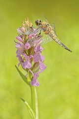Four spotted chaser on a wild orchid (Roland B43) Tags: flowers insect dragonfly fourspottedchaser orchid pink macro heemtuin ryckevelde brugge bruges belgium libel