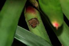 Tiny whistler ©twe2019☼ (theWolfsEye☼) Tags: thewolfseye botanicgardenofbaseluniversity botanischergartenderuniversitätbasel animals tiere frogs frog frosch frösche pfeiffrosch antillescoqui