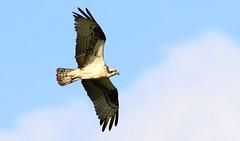 osprey at Leech Lake MN 653A5861 (naturalist@winneshiekwild.com) Tags: osprey leech lake minnesota larry reis