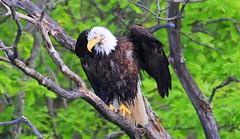 bald eagle at Leech Lake MN 653A5525 (naturalist@winneshiekwild.com) Tags: bald eagle leech lake minnesota larry reis