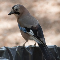 Eurasian jay (Garrulus glandarius) (Vladimir Gasai) Tags: jay nikon d750 70300mm greece birds