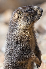 Marmot (jmorgan41383) Tags: