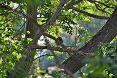 The little owl eating  ... (Irène♥ *¨*•.¸¸★) Tags: bird owl plant tree green greece forest athenenoctua