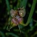 Allium proliferum 06