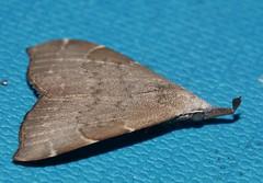 Wooly Flag tip snout moth Hypena sp Hypeninae Erebidae Mandalay rainforest Airlie Beach P1070139 (Steve & Alison1) Tags: wooly flag tip snout moth hypena sp hypeninae erebidae mandalay rainforest airlie beach needle