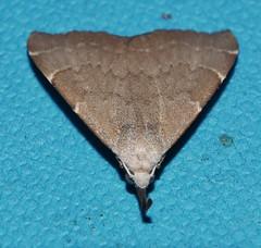 Wooly Flag tip snout moth Hypena sp Hypeninae Erebidae Mandalay rainforest Airlie Beach P1070141 (Steve & Alison1) Tags: wooly flag tip snout moth hypena sp hypeninae erebidae mandalay rainforest airlie beach needle