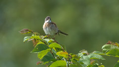 Whitethroat - fauvette grisette (1/3) : right side (Franck Zumella) Tags: male bird oiseau tete noire fauvette black tree green leave nature animal leaf spring wildlife sony vert cap tamron arbre printemps a7 feuille grisette blackcap whitethroat 150600 a7r