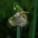 Allium proliferum 05