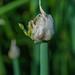 Allium proliferum 04