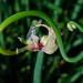 Allium proliferum 03