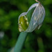 Allium proliferum 02