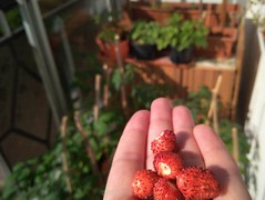 czas (miradel) Tags: balcony morning sunny me hand strawberry земляника green red colours colour colourful color colors simple simplicity moment moments fingers finger nature domestic wildness adventure adventures art life light podlasie food
