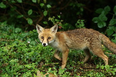 Renard (Phil du Valois) Tags: renard fox renardeau goupil faune sauvage libre wild wildlife free