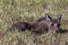 Moose (jmorgan41383) Tags: