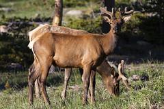 Elk (jmorgan41383) Tags: