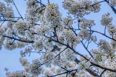 Cherry blossom #3 (foto_morgana) Tags: cherry prunusavium fruit cherryblossom cerise rosaceae arbre aurorahdr2019 belgië belgique belgium bloom blooming blossom blossoming boom cerisier cherrytree floweringtree flowers lente on1photoraw2019 outdoor spring tree wemmel