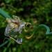 Allium proliferum 08