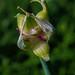Allium proliferum 01